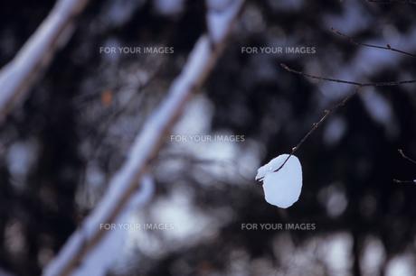 森の小枝と雪の素材 [FYI00103405]