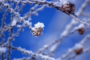 冬のマツカサの素材 [FYI00103409]