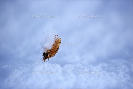 雪を被った実の素材 [FYI00103411]
