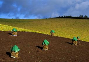 ニオの並ぶ丘の写真素材 [FYI00103421]