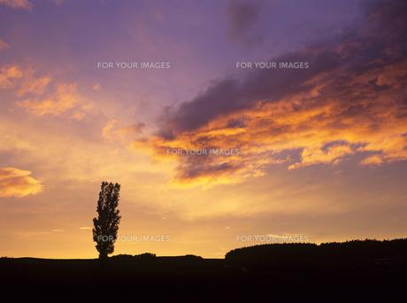 ポプラに迫る夕雲の素材 [FYI00103499]