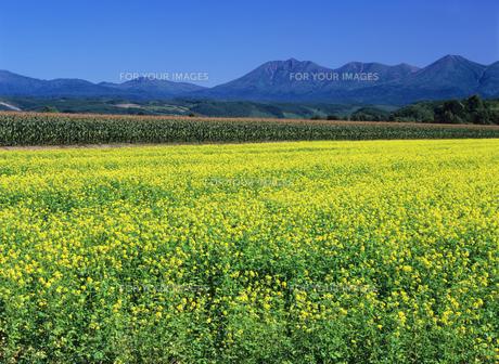 ナノハナ畑と山の素材 [FYI00103544]