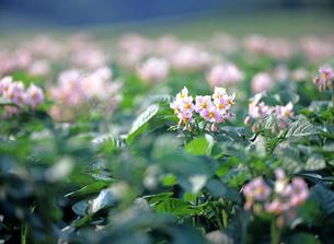 北海道 ジャガイモの花の素材 [FYI00103549]