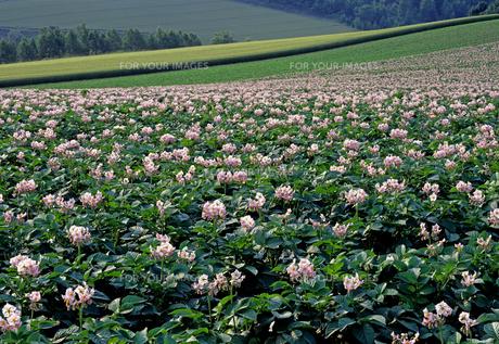 ジャガイモの花の丘の素材 [FYI00103563]