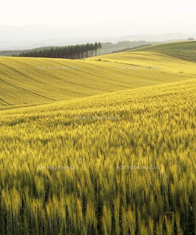 初夏の麦畑の素材 [FYI00103608]