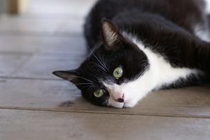 猫の写真素材 [FYI00103664]