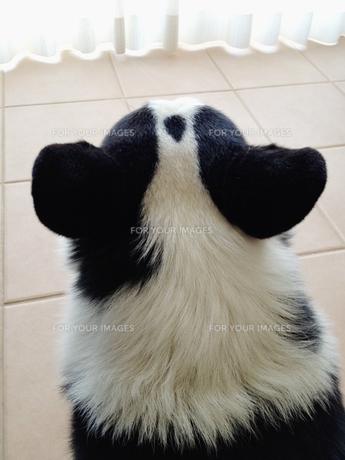 後ろ姿の犬(コーギー)の写真素材 [FYI00103682]