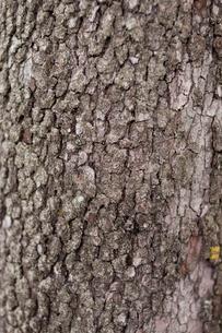 木の肌の写真素材 [FYI00103748]