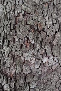 木の肌の写真素材 [FYI00103749]