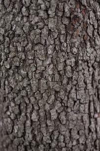 木の肌の写真素材 [FYI00103765]