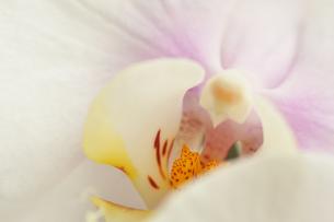 白い胡蝶蘭の写真素材 [FYI00105431]
