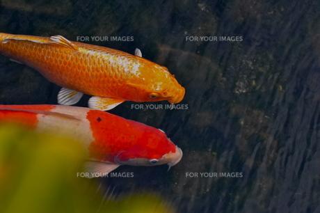 二匹の鯉の素材 [FYI00105494]