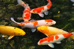 鯉の群れの素材 [FYI00105501]