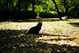 黒猫のシルエットの写真素材 [FYI00105522]