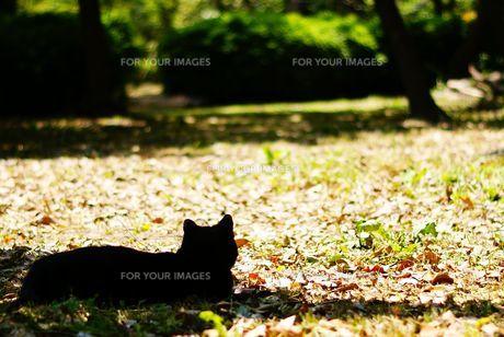 黒猫のシルエットの写真素材 [FYI00105523]