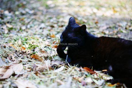 毛繕いする黒猫の写真素材 [FYI00105533]