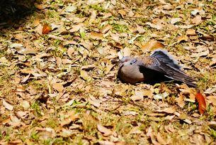 羽を伸ばす鳩の写真素材 [FYI00105551]