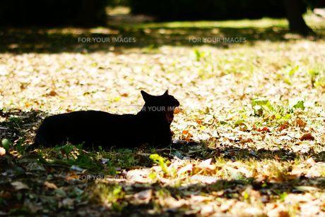 あくびする黒猫の写真素材 [FYI00105556]