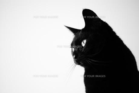 黒猫の写真素材 [FYI00105572]