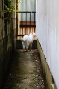 白猫の写真素材 [FYI00105574]