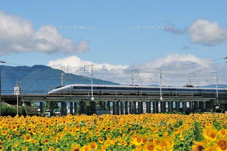 新幹線とひまわりの写真素材 [FYI00105642]