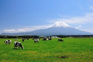 富士と牛の写真素材 [FYI00105718]