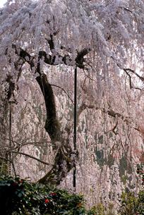 大野寺枝垂桜の写真素材 [FYI00105803]