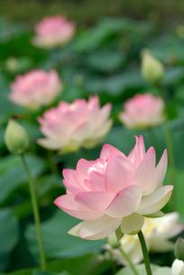 花蓮の写真素材 [FYI00105814]