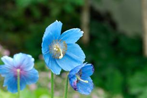 ヒマラヤの青いケシの写真素材 [FYI00105861]