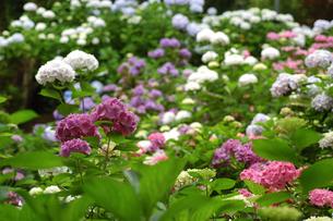紫陽花の写真素材 [FYI00105864]