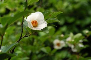 夏椿の写真素材 [FYI00105872]