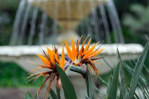 極楽鳥花の写真素材 [FYI00105874]