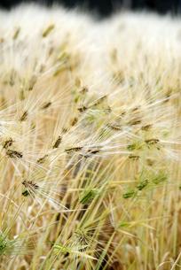 大麦畑の写真素材 [FYI00105883]