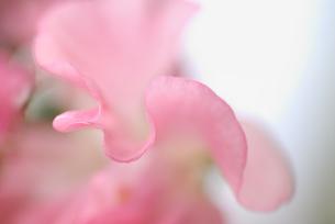 花のひだの写真素材 [FYI00105903]