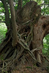 大峰奥駆け道の巨木の写真素材 [FYI00105915]