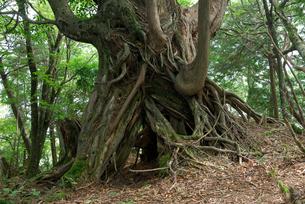 大峰奥駆け道の巨木の写真素材 [FYI00105917]