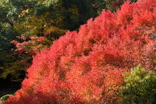 安国禅寺の紅葉の写真素材 [FYI00105951]