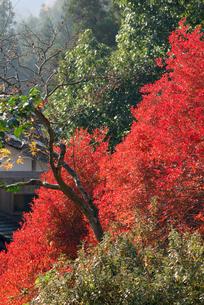 安国禅寺の紅葉の写真素材 [FYI00105967]