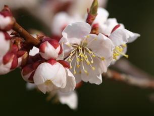 梅の花の写真素材 [FYI00105991]