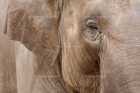 ゾウの写真素材 [FYI00106474]