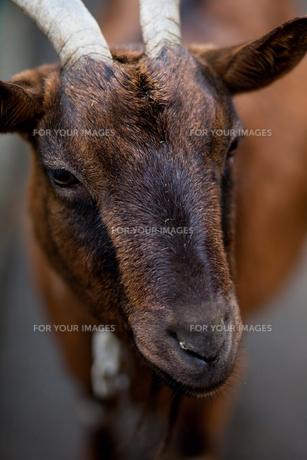山羊の写真素材 [FYI00106488]
