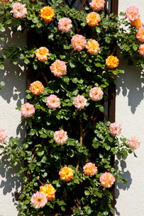 バラの壁の写真素材 [FYI00106570]