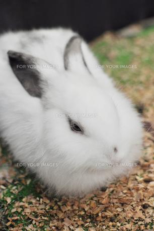 かわいいウサギの素材 [FYI00106571]