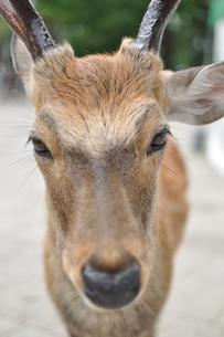 奈良の鹿の素材 [FYI00106591]