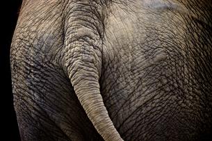 インド象のお尻の写真素材 [FYI00106614]