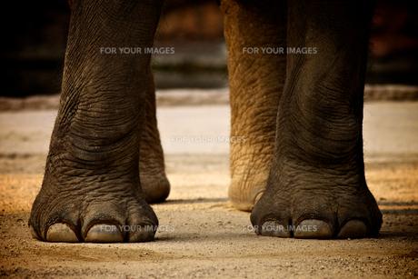 インド象の足の素材 [FYI00106630]