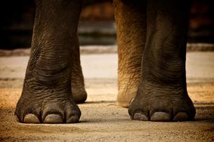 インド象の足の写真素材 [FYI00106630]