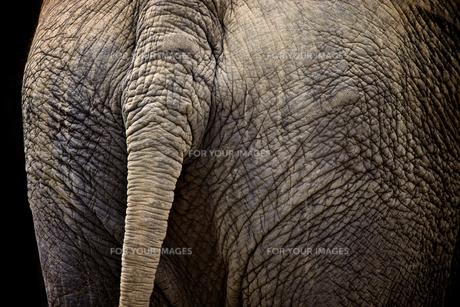 象のしっぽの写真素材 [FYI00106641]