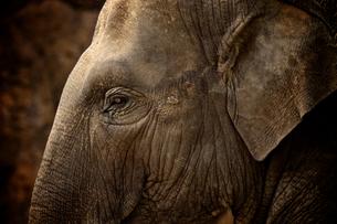 インド象の横顔の写真素材 [FYI00106644]