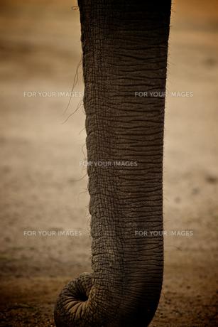 インド象の鼻の素材 [FYI00106645]